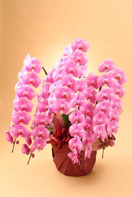 胡蝶蘭ピンク 5本立ち
