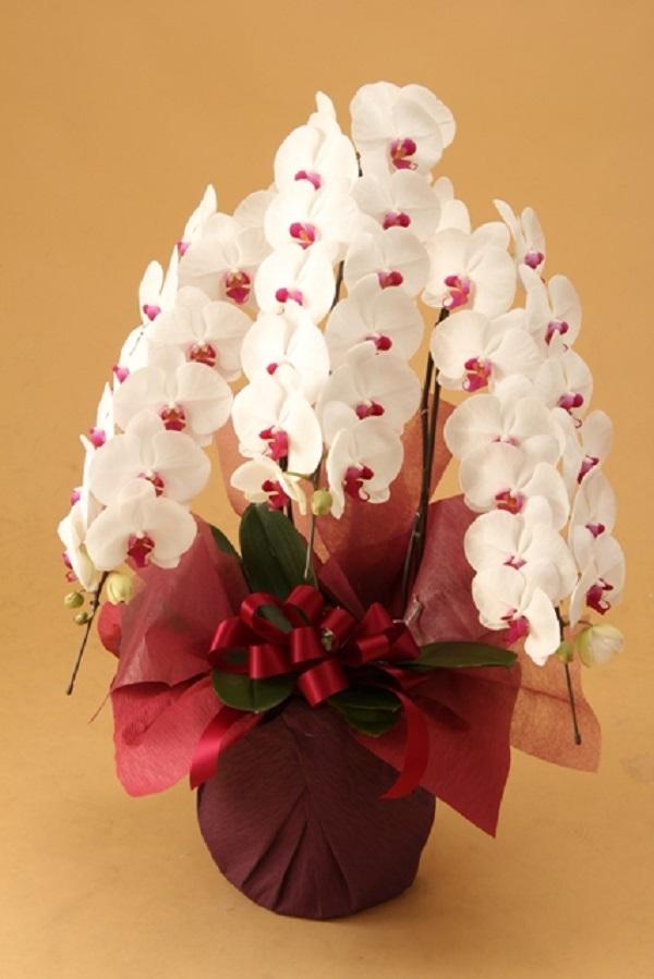 胡蝶蘭セミアルバ