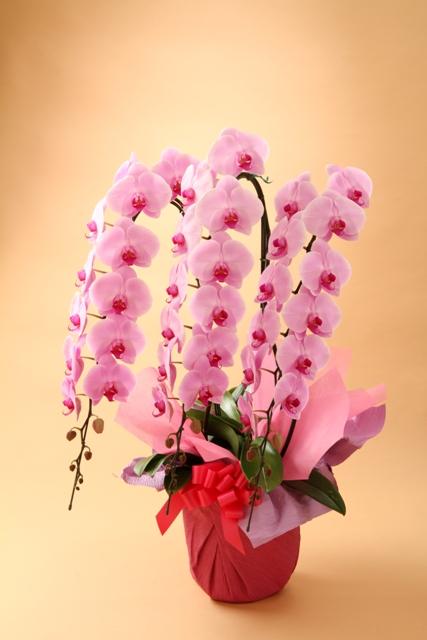 胡蝶蘭3本立ち ピンク